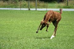 Playful Colt. Colt play bucking in field Royalty Free Stock Photos