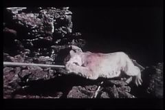Playful cougar dragged on end of stick stock video footage