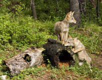 Playful Coyote Pups Stock Image
