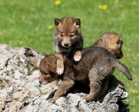 Playful coyote pups royalty free stock photos