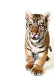 Playful Cub. Studio portrait of a Siberian Tiger Cub against a white background Royalty Free Stock Photos