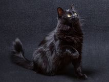 Playful and curious black cat on a dark background. Sitting and looking up with a raised paw. About to swipe, slap or strike. Long hair Turkish Angora breed royalty free stock photography