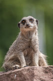Playful and curious suricate in a small open resort closeup Stock Images