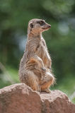 Playful and curious suricate in a small open resort closeup Stock Photo