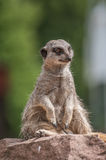 Playful and curious suricate in a small open resort closeup Royalty Free Stock Photos