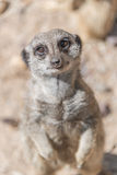 Playful and curious suricates in a small open resort Stock Photos