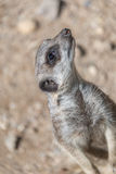 Playful and curious suricates in a small open resort Stock Images