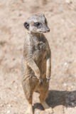 Playful and curious suricates in a small open resort Royalty Free Stock Photos
