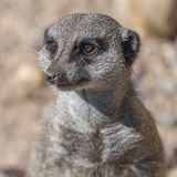 Playful and curious suricates in a small open resort Royalty Free Stock Image