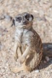 Playful and curious suricates in a small open resort Royalty Free Stock Images