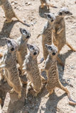 Playful and curious suricates in a small open resort Stock Image