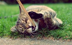 Playful cute cat playing Royalty Free Stock Photo