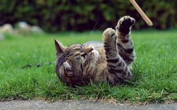 Playful cute cat playing Royalty Free Stock Image