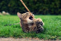 Playful cute cat playing Royalty Free Stock Photos
