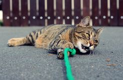 Playful cute cat playing Royalty Free Stock Images