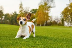 Playful cute dog asking to play the game. Lower to the front legs. Beautiful green lawn. one ear funny lifted in the wind. Background green grass. series of Stock Image