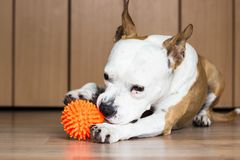 Playful and cute dog chewing a toy at home. Potrait Stock Photos