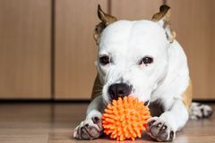 Playful and cute dog chewing a toy at home. Potrait Royalty Free Stock Photography