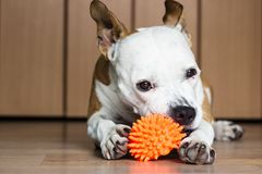 Playful and cute dog chewing a toy at home. Potrait Royalty Free Stock Photos