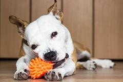 Playful and cute dog chewing a toy at home. Potrait Stock Image