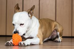 Playful and cute dog chewing a toy at home. Potrait Royalty Free Stock Photo