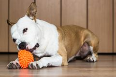 Playful and cute dog chewing a toy at home. Potrait Stock Photo