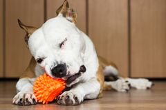 Playful and cute dog chewing a toy at home. Potrait Royalty Free Stock Image