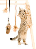 Playful cute kitten Scottish Straight Royalty Free Stock Images