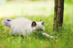 Little kitten sneaking in the grass. Playful cute little siamese kitten sneaking in the grass Royalty Free Stock Images
