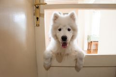 Playful cute puppy Samoyed indoor. At house shot Royalty Free Stock Photo