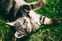Playful Cute Tabby Gray Cat Kitten Pussycat Play. In Grass Outdoor. Looking Up royalty free stock image