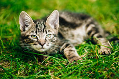 Playful Cute Tabby Gray Cat Kitten Pussycat. Playful Cute Tabby Gray Cat Kitten Play In Grass Outdoor, Sunny Summer Day stock photography