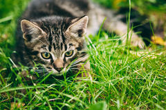 Playful Cute Tabby Gray Cat Kitten Pussycat Royalty Free Stock Image