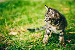 Playful Cute Tabby Gray Cat Kitten Pussycat. Play In Grass Outdoor, Sunny Summer Evening royalty free stock image