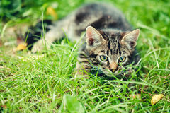 Playful Cute Tabby Gray Cat Kitten Pussycat Sitting In Grass Out. Playful Cute Tabby Gray Cat Kitten Pussycat Play In Grass Outdoor, Sunny Summer Evening stock images