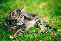 Playful Cute Tabby Gray Cat Kitten Pussycat Sitting In Grass Outdoor Stock Images