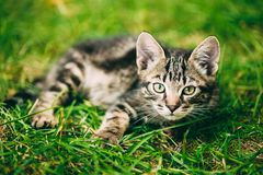 Playful Cute Tabby Gray Cat Kitten Pussycat Sitting In Grass Outdoor. Playful Cute Tabby Gray Cat Kitten Pussycat Play In Grass Outdoor, Sunny Summer Evening royalty free stock images