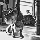 Playful dachshund Stock Photos