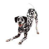 Playful Dalmatian Dog Bowing Stock Images