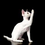 Playful devon rex kitten. isolated on dark backgro Stock Photo