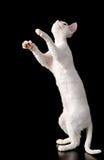 Playful devon rex kitten. isolated on dark backgro Stock Image