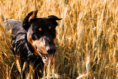 Playful Doberman. Doberman playing in wheat field stock image