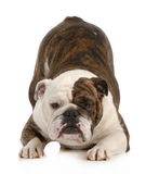 Playful dog. English bulldog with bum up in the air isolated on white background Stock Image