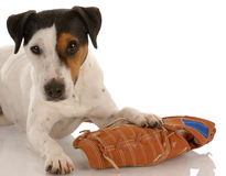 Playful dog with baseball glove
