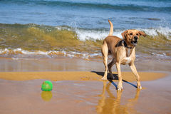 Playful dog at the beach Stock Photography