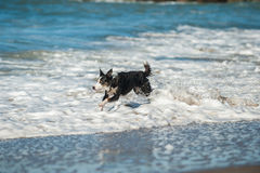 Playful dog bounding through the ocean white water Stock Images