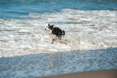 Playful dog bounding through the ocean white water Stock Photos