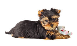 Playful dog with chew toy. Yorkshire Terrier puppy playing with toy. Shallow depth of field Royalty Free Stock Images