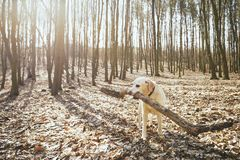 Playful dog in forest. Labrador retriever biting large stick Stock Image