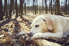 Playful dog in forest. Labrador retriever biting large stick Royalty Free Stock Image